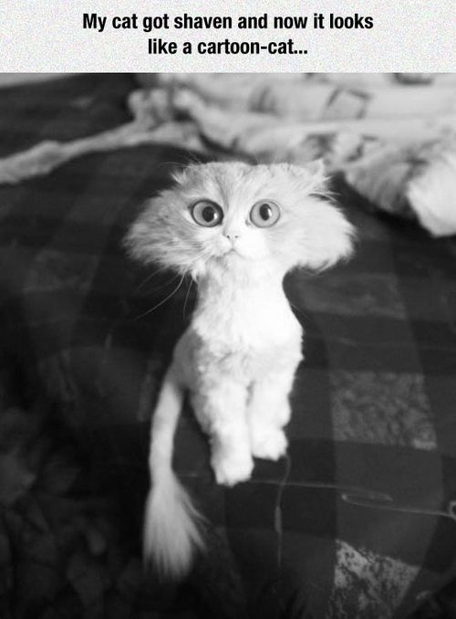 Shaved Cat Meme Photo