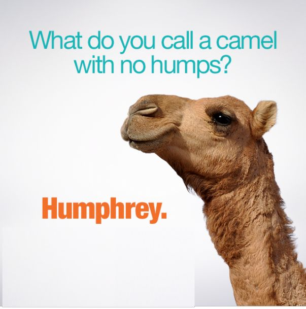 What Do You Call A Camel With No Humps Humphrey
