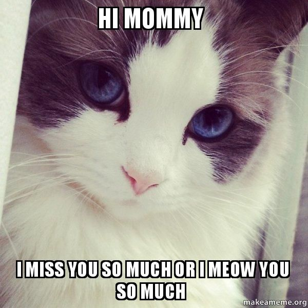 Funny blue eyes cat miss you meme picture