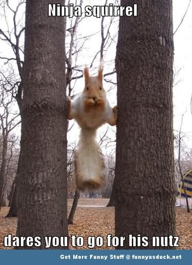 Ninja Squirrel Dares You To Go For His Nutz Funny Ninja Memes Graphic
