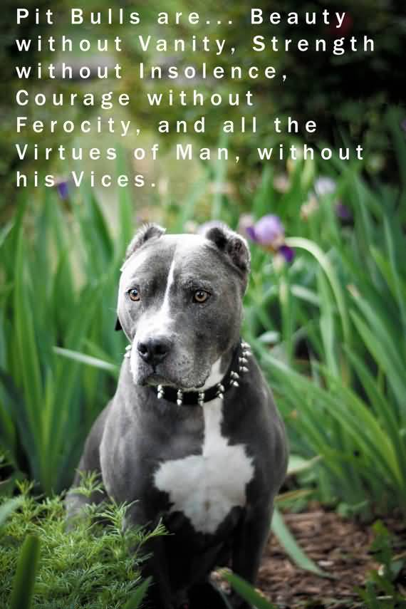 25 Pitbull Dog Love Quotes and Sayings Gallery | QuotesBae