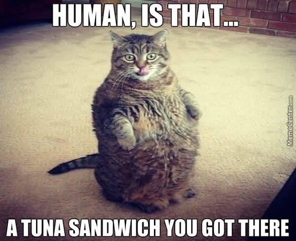 Funny cute fat cat meme image